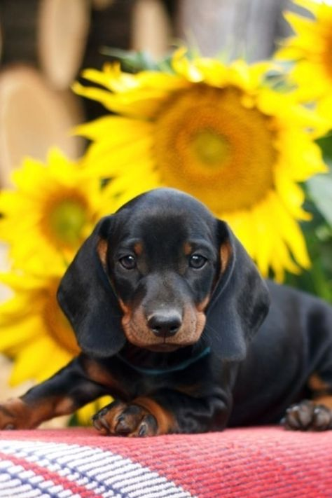 Here you will find the best dachshund products, including dachshund clothes, costumes, pajamas, toys, supplies, and great dachshund gifts ideas. #Labrador #Retriever #puppy