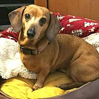 Available Pets At Oregon Dachshund Rescue Inc In Portland Oregon