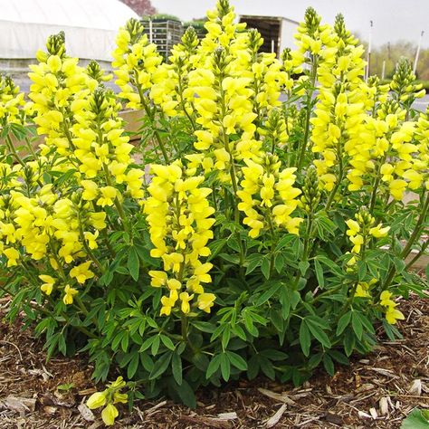 Thermopsis Chinensis Rzadki I Poszukiwany Byliny Rosliny I Ogrody