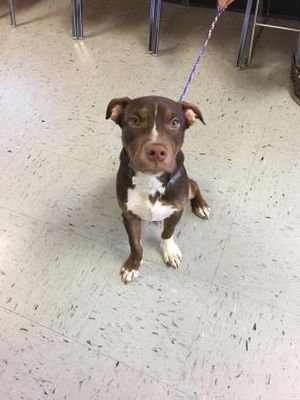 Inverness Fl American Pit Bull Terrier Meet Chevy A Pet For