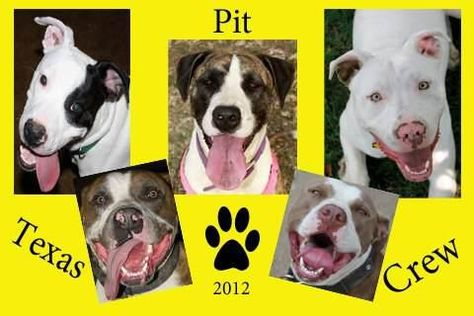 End Bsl Bully Breeds American Staffordshire Terrier Best Dogs
