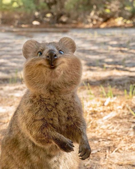 Happy as a Quokka 😻 Which one is your favorite, 1-2-3? 🙈 Rottnest Island, Western Australia. Photos by @cruzysuzy #earthofficial