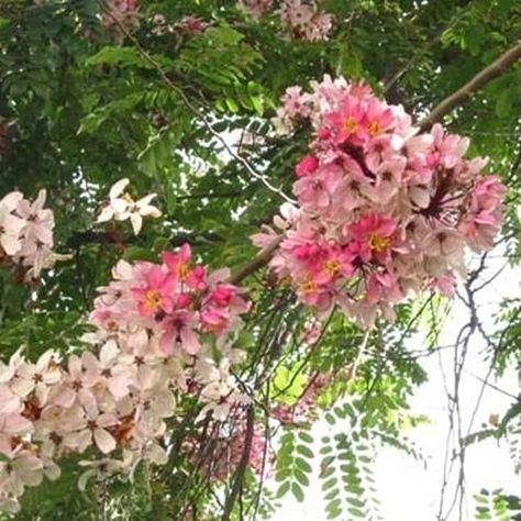 We are The Plant Attraction. Check out our other seeds! Also known as: The Pink & White Shower Tree. This tree does have a long blooming season!