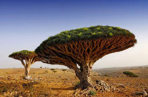 Dragon Blood Tree by Oleg Znamenskiy
