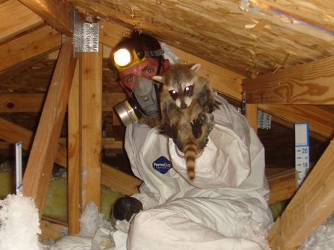 Raccoon West Hills Insulation Removal Insulation