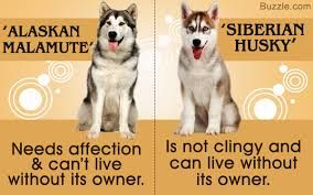 Images Of Siberian Huskies With Attitude Google Search