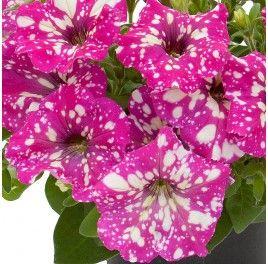 Petunia Baby Doll Petunia Plant Petunias Flowers