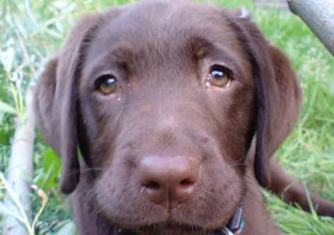 Dogs evolved 'puppy dog eyes' to help them get on with