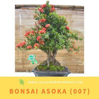 Asoca Bonsai Tanaman Bonsai Bunga