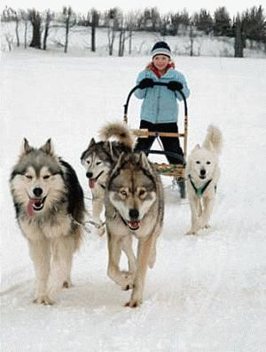 Top 10 Most Dangerous Dog Breeds In The World Malamute Dog