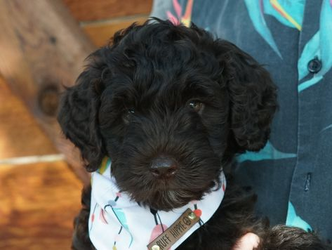 Breed Australian Labradoodle Gender Male Registry Alaa Personality Charming D With Images Labradoodle Puppy Labradoodle Puppies For Sale Australian Labradoodle Puppies