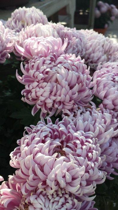Chrysanthemum Le Mans Chrysanthemum Flowers Rose