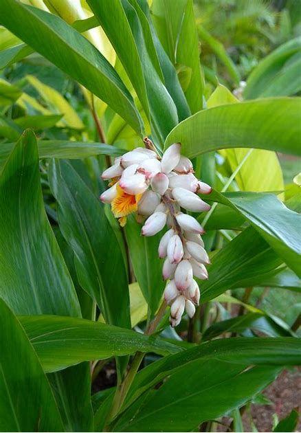 Image Result For Ginger Flor Ginger Plant Ginger Flower Garden Guide