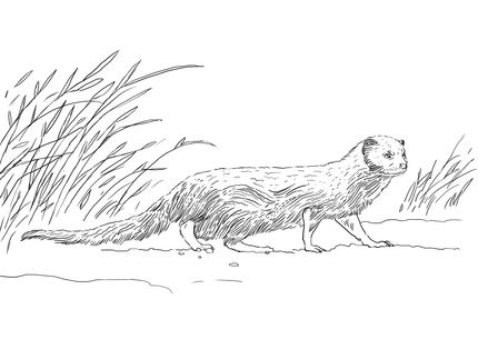 rikki tikki tavi art visual communication indian gray mongoose coloring page explorations 2014 4th quarter pinterest mongoose