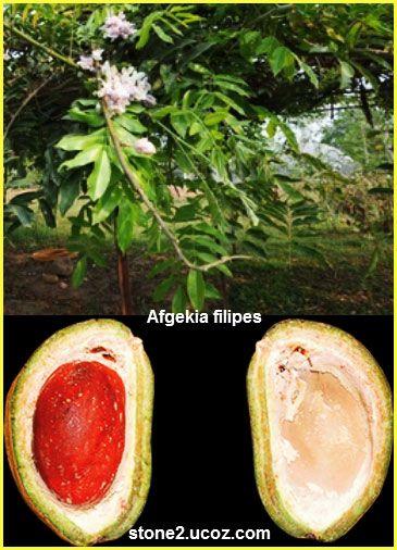 نبات افجكية خيطية الساق الصينية Afgekia Filipes النبات سميت إلى أسماء شخصيات النبات معلومان عامه معلوماتية Plants