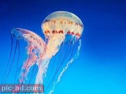 اجمل صور قنديل البحر علاج لسعة القنديل Jellyfish Illustration Jellyfish Photography Jellyfish Painting