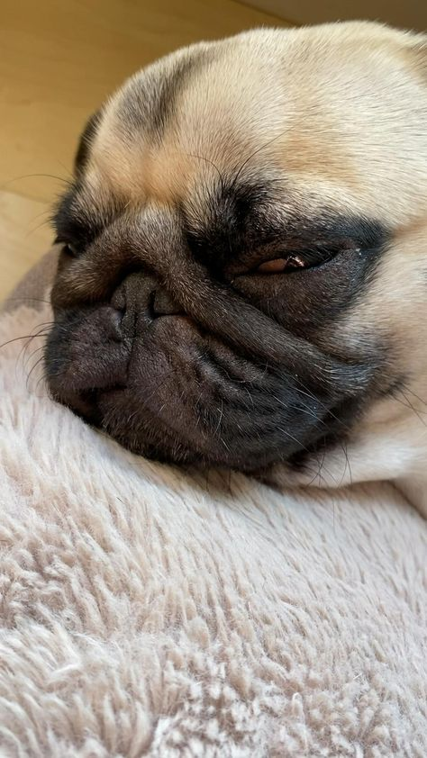 #pug #puglife #pugsofinstagram #pugpuppy #pugoftheday #lol #cutedog #dog #doglovers