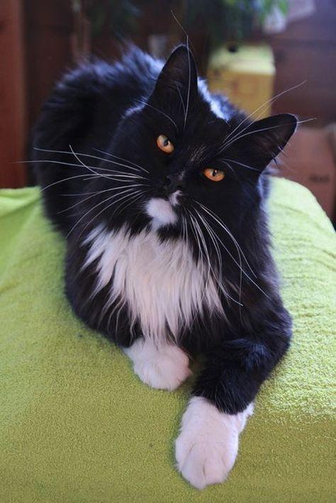Tuxedo long hair cat