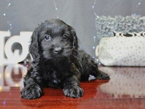 Dogs And Puppies For Sale In Ohio With Images Dapple Dachshund Puppy Puppies Dapple Dachshund