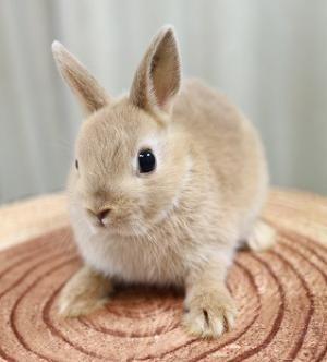 子うさぎ ネザーランドドワーフ 検索結果 ハローべいびぃ 子うさぎ かわいいウサギ うさぎ