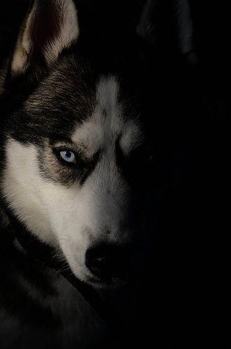Pin By Mia Hamilton On Doggos In 2020 Husky Dogs Siberian Husky