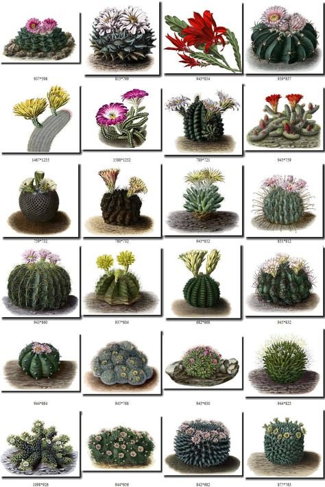 flowers Collection of 176 Cacti Cactaceae vintage