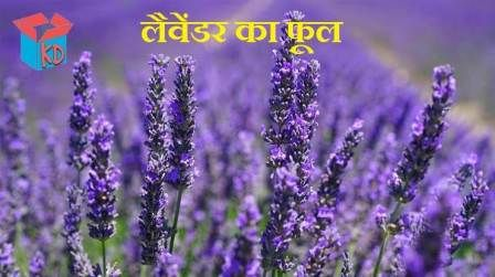 Pin By Mohammad Vasim On Amazing Facts Lavender Flowers Flowers Oil Plant