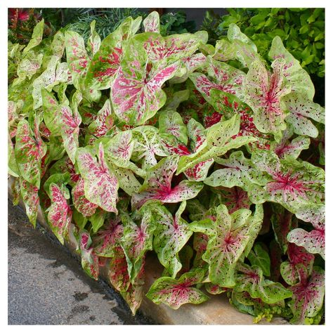 P Allen Smith Selection Dwarf Caladiums Miss Muffet Set Of 6