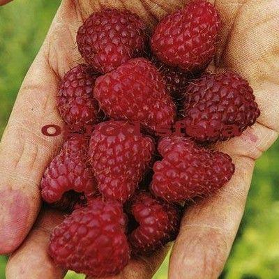 Sadzonki Maliny Malina Jesienna Slodka Duza 6928188168 Oficjalne Archiwum Allegro Raspberry Plants Sutton Seeds Fruit Plants