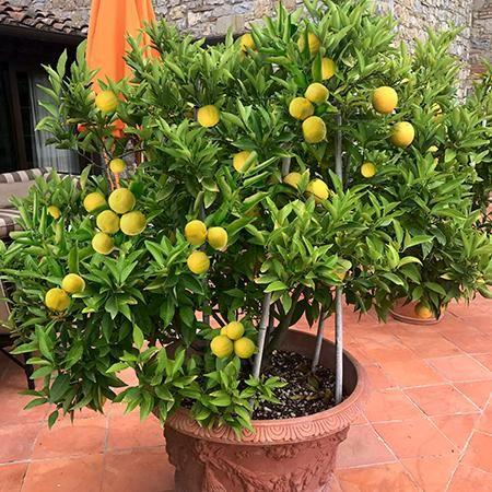 citrus trees fruit trees