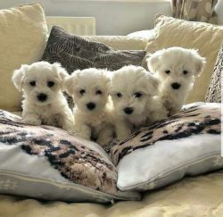 Teacup Pomeranian Dogs Puppies For Sale In United States Teacup Maltese Puppies Sale Pin On Puppies I Want Teacup In 2020 Maltese Puppy Teacup Puppies Maltese Dogs