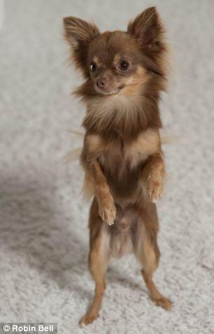 Chihuahua Hund So Suss Chihuahua Hund Suss Chihuahua Hund Chihuahua Kleine Hunde