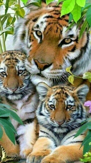 Beautiful Cats Dance Most Beautiful Cats And Kittens Big Cats, Cats And Kittens, Cute Cats, Siamese Cats, Tiger Pictures, Animal Pictures, Funny Pictures, Nature Animals, Animals And Pets