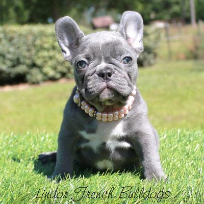 Female Lilac French Bulldog Puppy In 2020 Bulldog Puppies