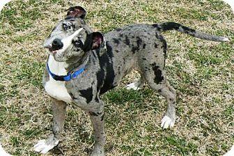 Catahoula Leopard Dog American Bulldog Mix Puppy For Adoption In