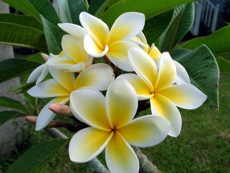 Tropical White Flower With Yellow Center Gallery - Flower Decoration ...