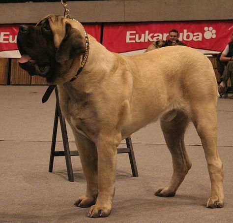 ENGLISH MASTIFF  Now thats a whole lotta dog