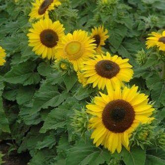 Sunflower Seeds,Yellow Sunflower,flowerseeds,Chocolate Sunflower,annual flower seeds,red sunflower,sunflower seed packet,flower seed packet by happyhopemade on Etsy