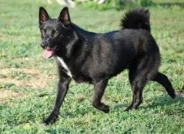 Black Norwegian Buhund Walking In Green Grass Norwegian Buhund Norwegian Elkhound Norwegian Buhund Black
