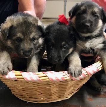 Litter Of 3 German Shepherd Dog Puppies For Sale In Reno Nv Adn