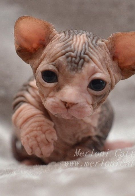 47 New Sphynx Kittens For Sale Love At Cat Pictures Cute Animals