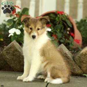 Sheltie Puppies For Sale Shetland Sheepdog