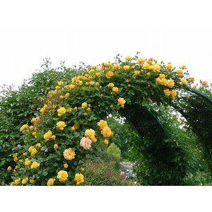 バラ苗 サハラ'98 大苗 6号ポット つるバラ 四季咲き 黄色 初心者に超おすすめ バラ 苗 つるばら つる性 予約販売2019年11〜12月頃発送予定