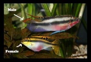 Kribensis Cichlid Fish Cichlids Aquarium Fish