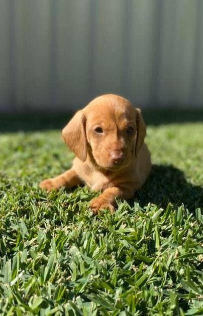 Pin On Dachshund Dog Puppies