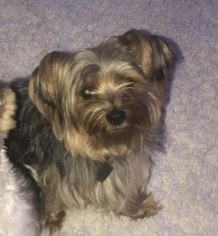 Lost Dog Minneapolis Yorkshire Terrier Male Date Lost 09 28 2019 Dog S Name Chappie Breed Of Dog Yorkshire Terrier Yorkie Dog Ages Losing A Dog Dogs
