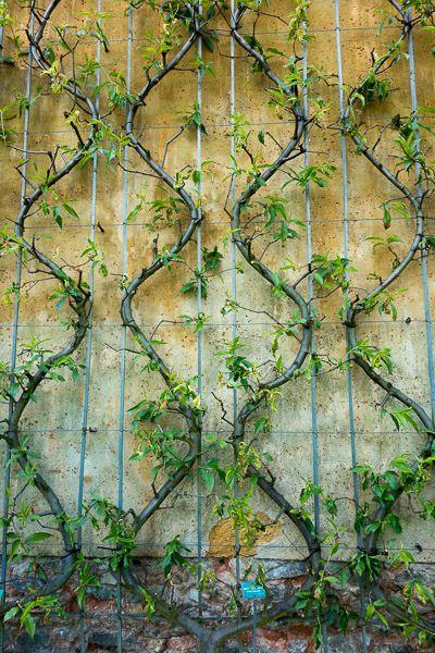 Les arbres fruitiers en espalier permettent de créer un verger même si on n'a que très peu de place. Découvrez comment faire : http://www.amenagementdujardin.net/arbres-fruitiers-en-espalier-un-verger-qui-ne-prend-pas-de-place/