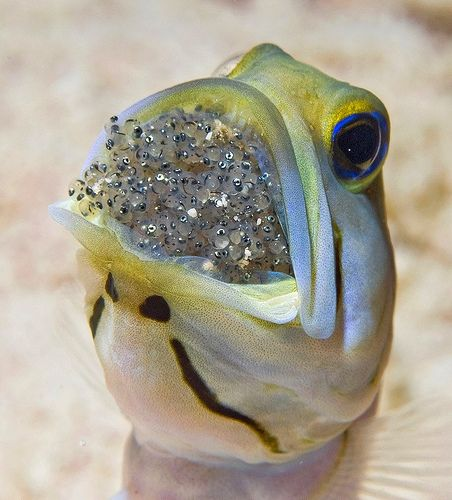 Jawfish for EPA Earth Day, via Flickr.