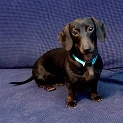 Available Pets At All Texas Dachshund Rescue In Pearland Texas Dachshund Rescue Dachshund Adoption Pet Adoption