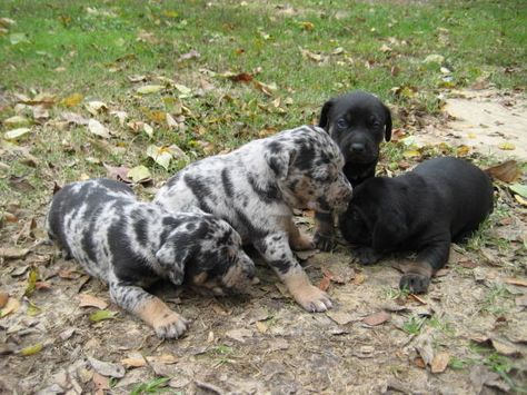 Catahoula Puppies For Sale Nalc Catahoula Puppies Taking Puppy